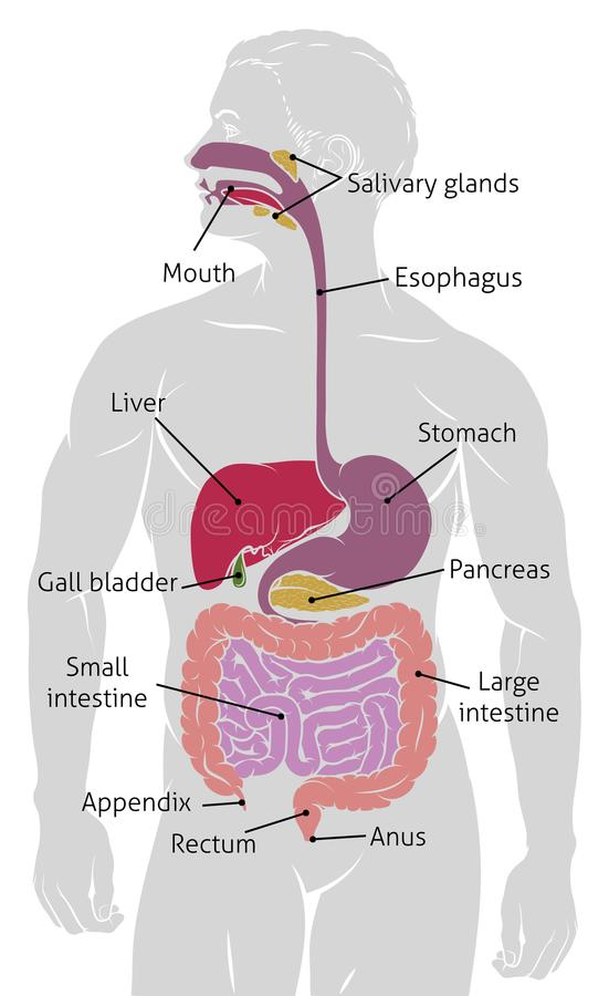 Human Gut Digestive System Gastrointestinal Tract. An anatomical human gut digestive system gastrointestinal tract diagram royalty free illustration