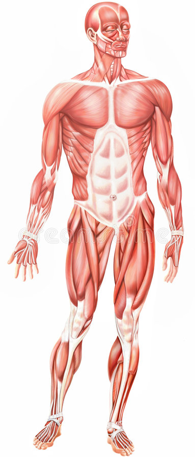 Anatomical man stock illustration. Illustration of musculature - 7953271