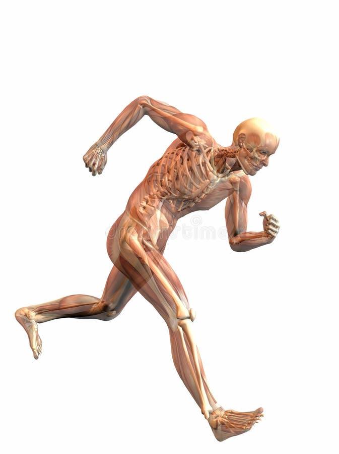 Download Anatomical man running stock illustration. Illustration of exercising - 13139494