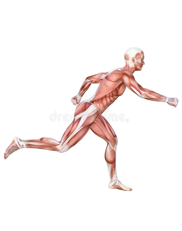Anatomical man running muscles. Anatomical man running, muscles and ligaments, 3D render illustration on white background. Transparent PNG version available as vector illustration