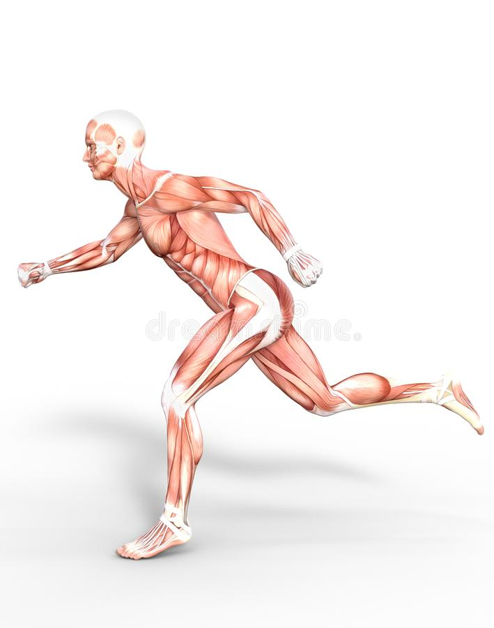 Anatomical Man Running Muscles Stock Image - Illustration of action ...