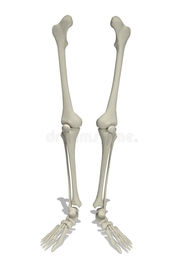 Free Anatomical Model Of Human Legs Stock Photo - 5561630