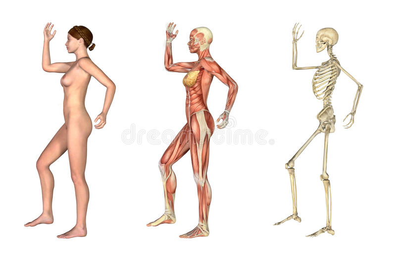 Anatomical Overlays - Female with Arm and Leg Bent vector illustration