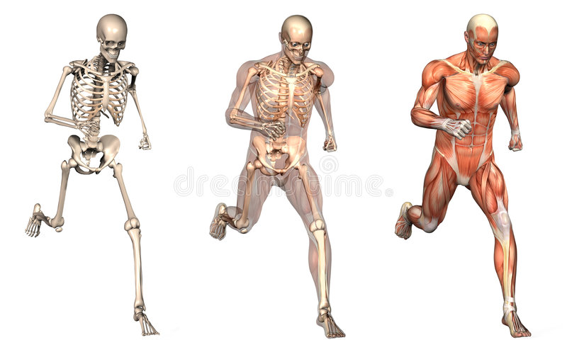 Anatomical Overlays - Man Running - Front View vector illustration