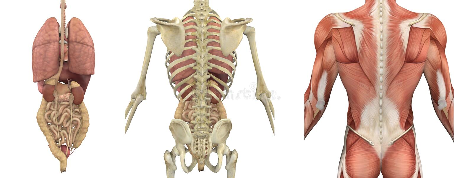 Anatomical Overlays Of The Torso - Backside Royalty Free Stock Images