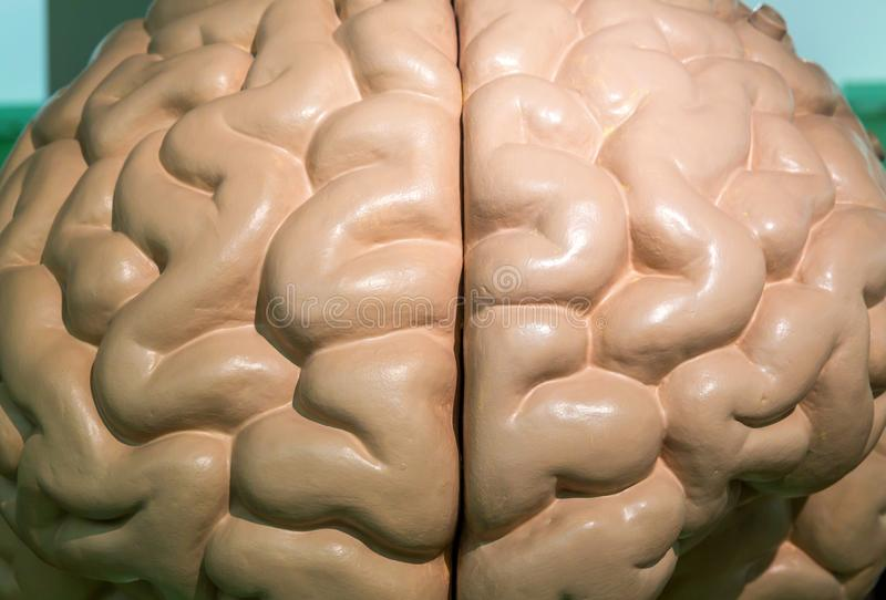 Anatomical plastic model of human brain, closeup royalty free stock photo