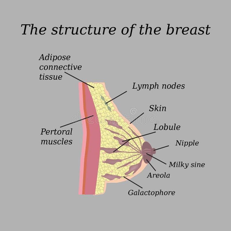 Awesome Mammary Glands Anatomy Elaboration - Anatomy And Physiology ...