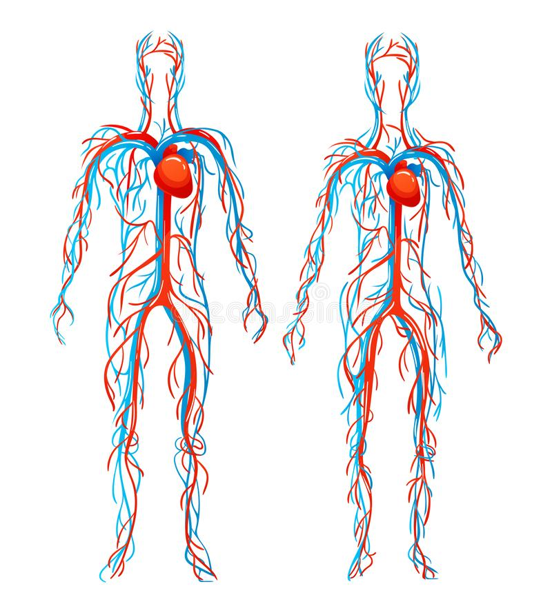 Free Anatomical Structure Human Bodies. Blood Vessels With Arteries, Veins. Royalty Free Stock Image - 159506066