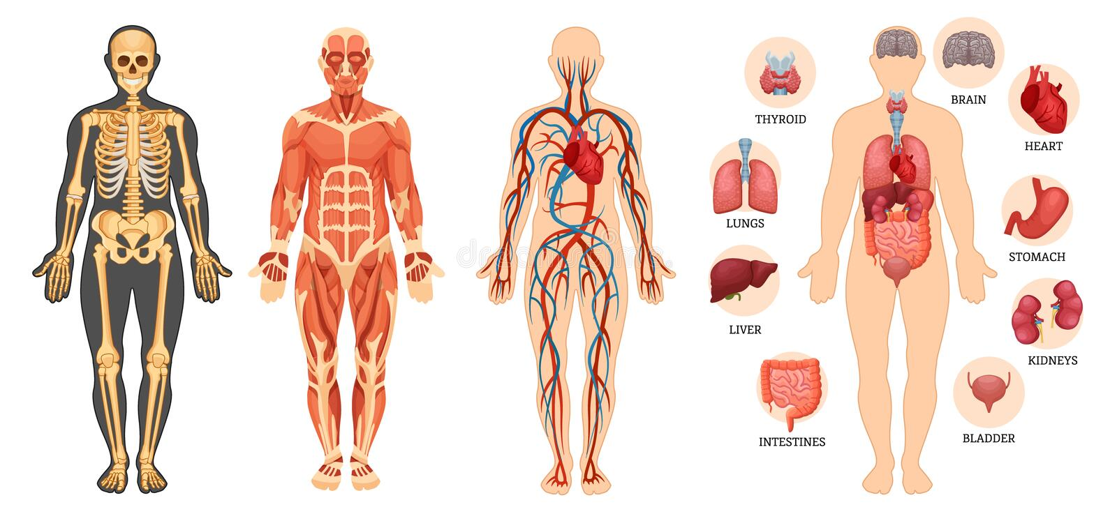 Structure of human body, skeleton, muscular system, blood vessels, organs. stock illustration