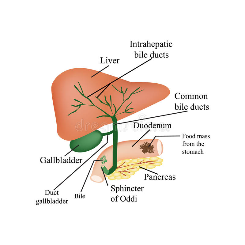 The Anatomical Structure Of The Liver, Gallbladder Stock Vector ...