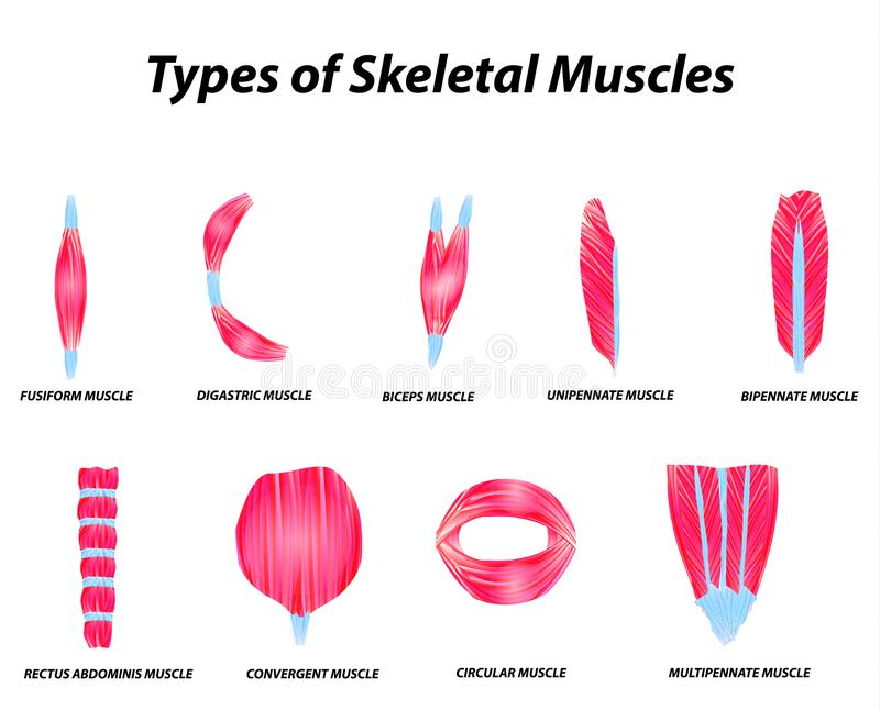 The anatomical structure of skeletal muscles. Infographic. Vector illustration on isolated background. stock illustration