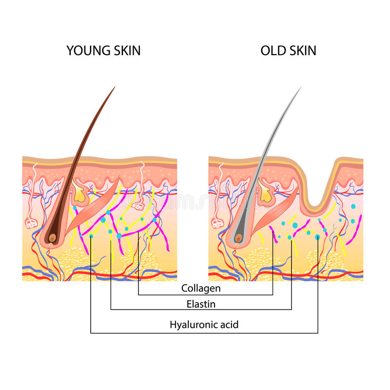 The anatomical structure of the skin royalty free illustration