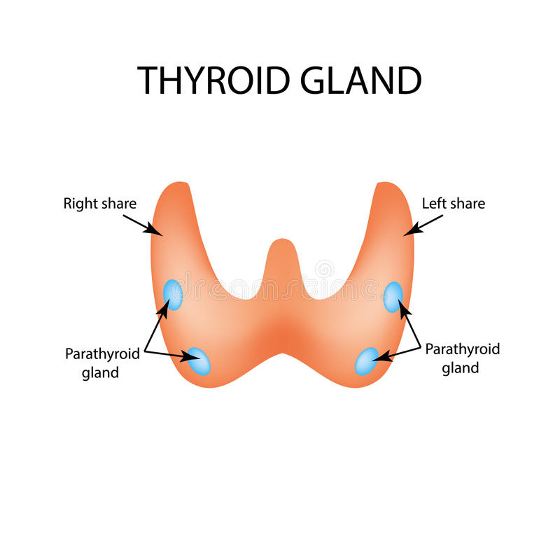 Anatomical structure of the thyroid and parathyroid gland. Infographics. Vector illustration on isolated background royalty free illustration