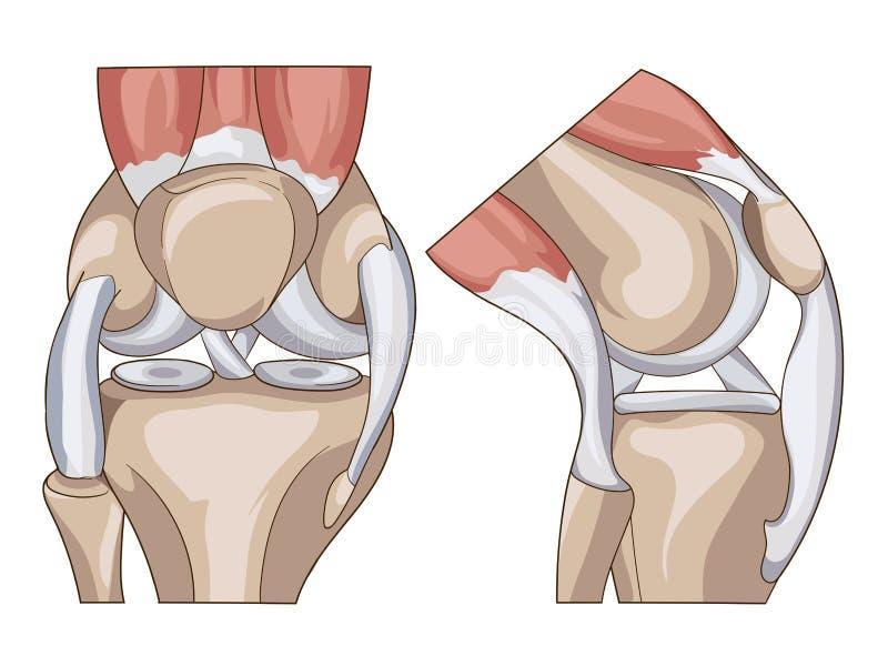 anatomical Strukturknäledvektor royaltyfri illustrationer