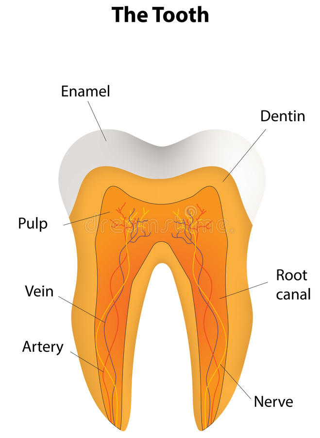 Tooth Labeling Diagram Block And Schematic Diagrams