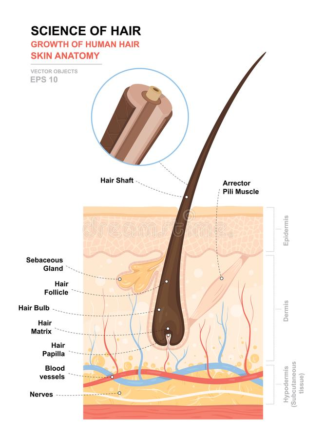 Anatomical training poster. Growth and structure of human hair. Skin and hair anatomy. Cross section of the skin layers stock illustration