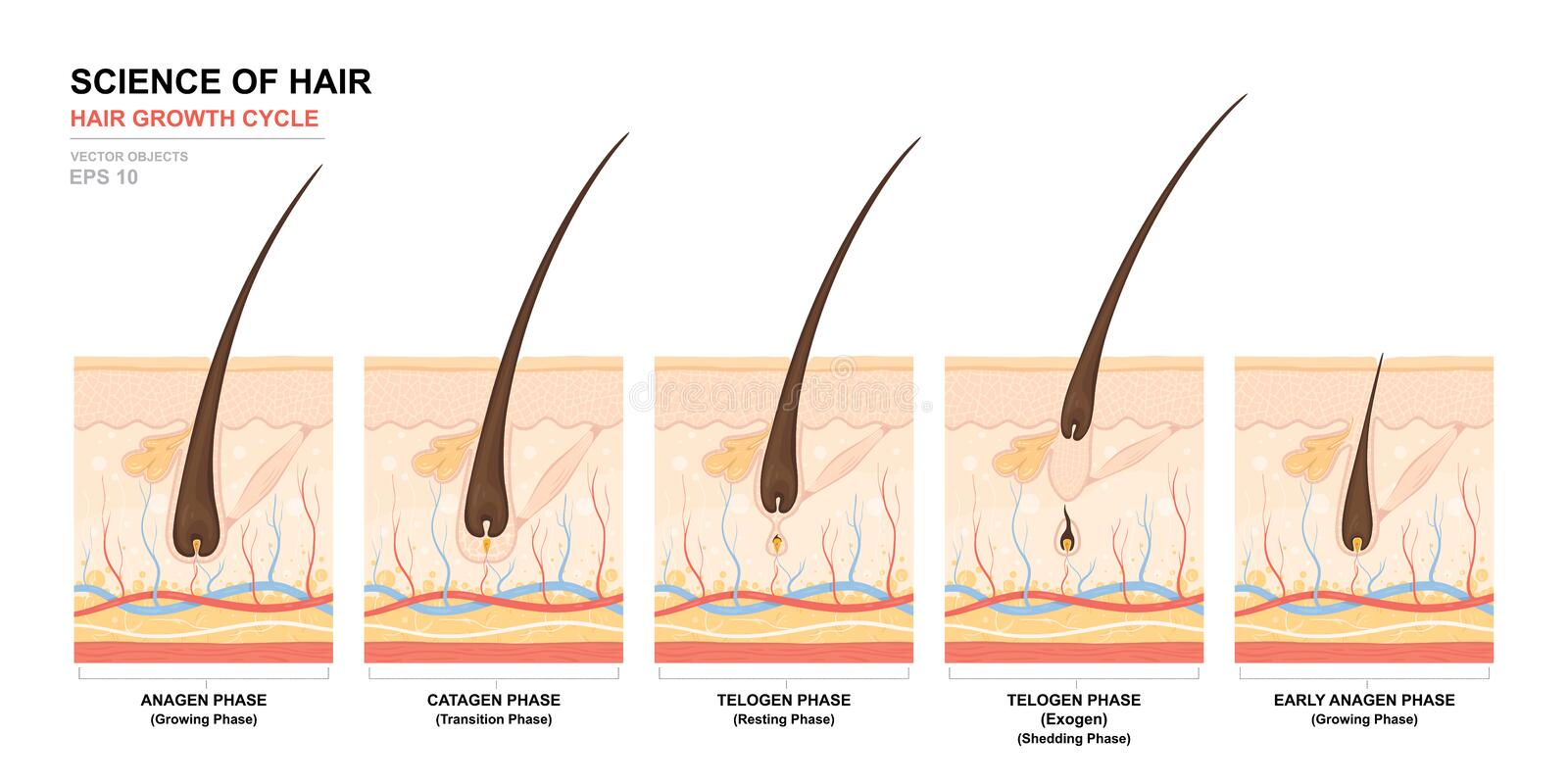Anatomical Training Poster Hair Growth Phase Step By Step