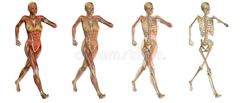 Download Anatomical women bodies stock illustration. Image of illustration - 13446435