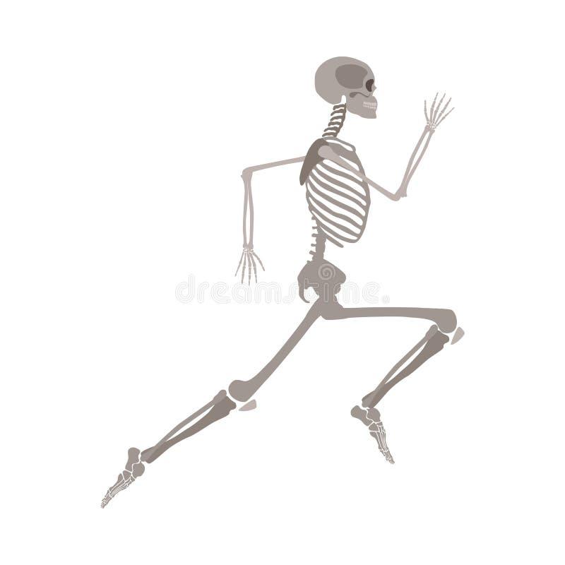 Anatomically correct skeleton running flat vector isolated on white background. stock illustration