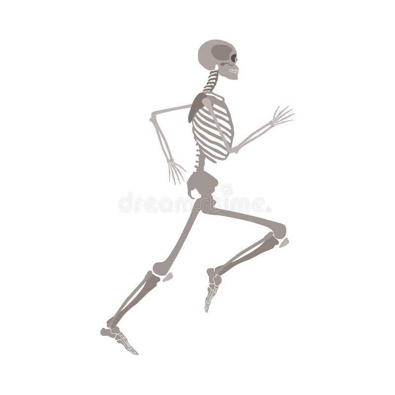 Anatomically correct skeleton running flat vector isolated on white background. vector illustration