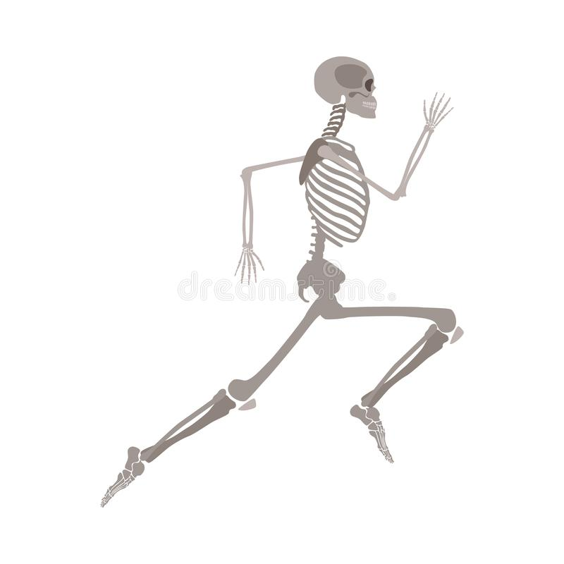 Anatomically korrekt skelett- rinnande plan vektor som isoleras på vit bakgrund stock illustrationer