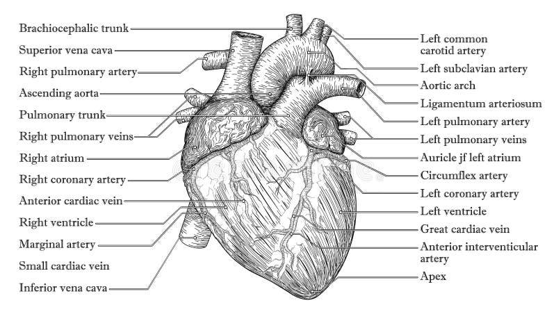 Anatomiczna Ludzka kierowa ręka rysujący nakreślenie z inskrypcją nam ilustracji
