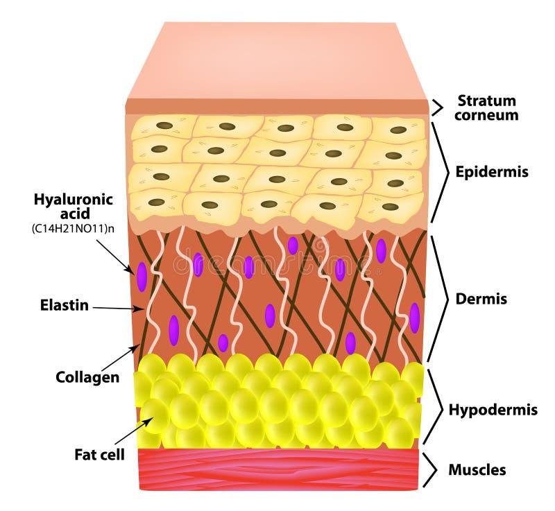 Anatomiczna struktura skóra Elastyna, Hyalurowy kwas, kolagen Infographics przyczyny zmarszczenia na skórze royalty ilustracja