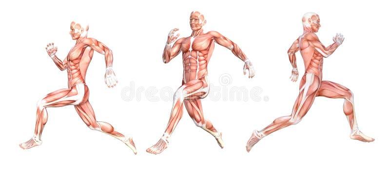 Anatomicznego mężczyzna działający mięśnie ilustracja wektor
