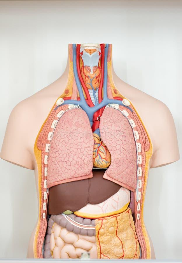 Anatomiczny model ludzcy wewnętrzni organy w cięciu obraz stock