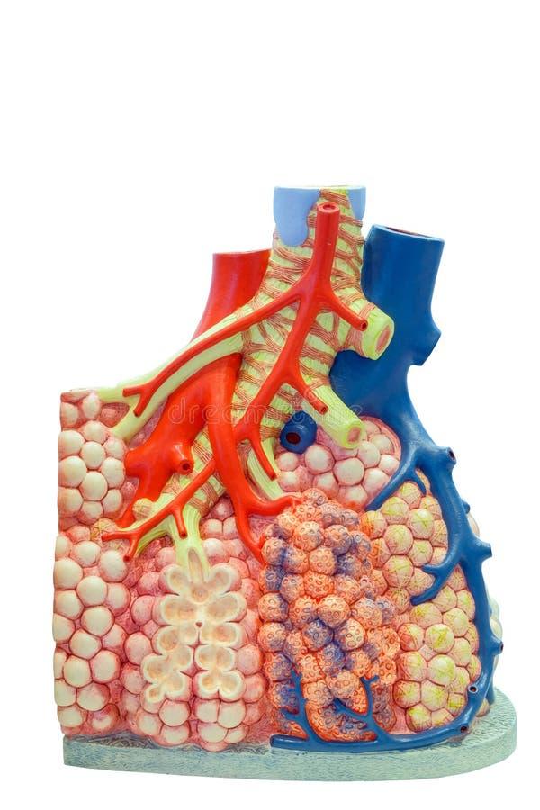 Anatomiczny model płucny i naczynia krwionośne istota ludzka obraz royalty free