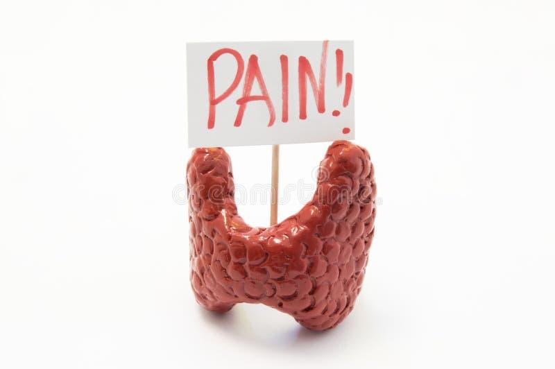 Anatomiczny model tarczycowy gruczoł z plakatem z inskrypcja bólem jest na białym tle Pojęcie fotografia ból, bólowi objawy obrazy royalty free