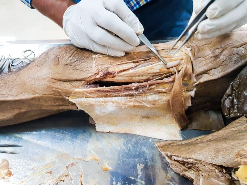 Anatomidissekering av en kanal för kadavervisningadductor genom att använda skalpellsax och kirurgiska tången som klipper hud, vi arkivbilder