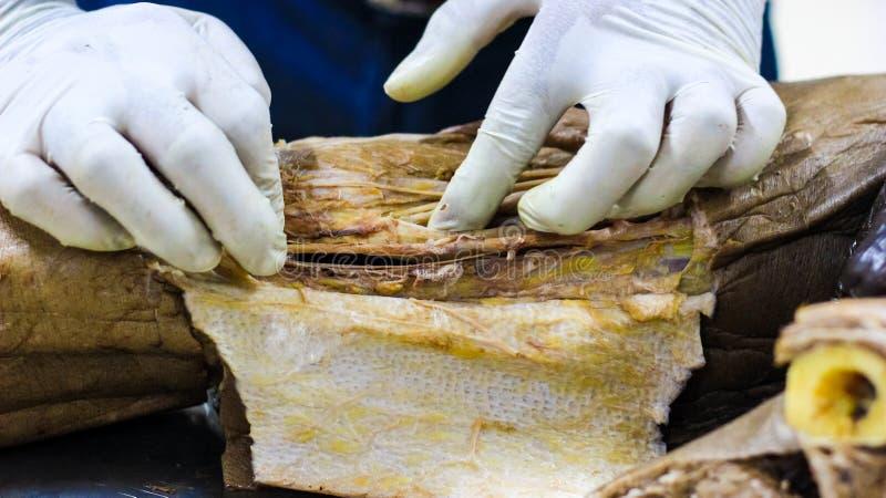 Anatomidissekering av en kanal för kadavervisningadductor genom att använda skalpellsax och kirurgiska tången som klipper hud, vi arkivbild