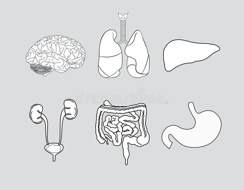 anatomie royalty-vrije illustratie