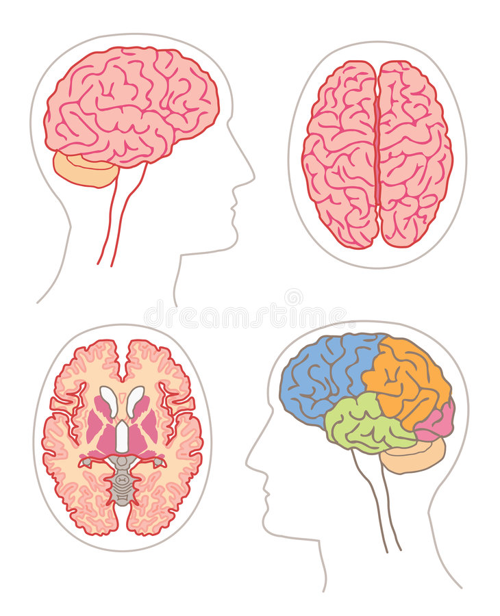 Anatomie - cerveau 2 illustration stock