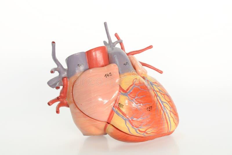 Anatomie d'être humain de coeur images stock