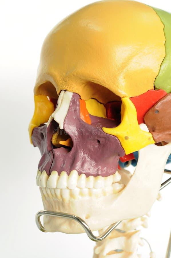 Anatomie d'être humain de crâne photos libres de droits