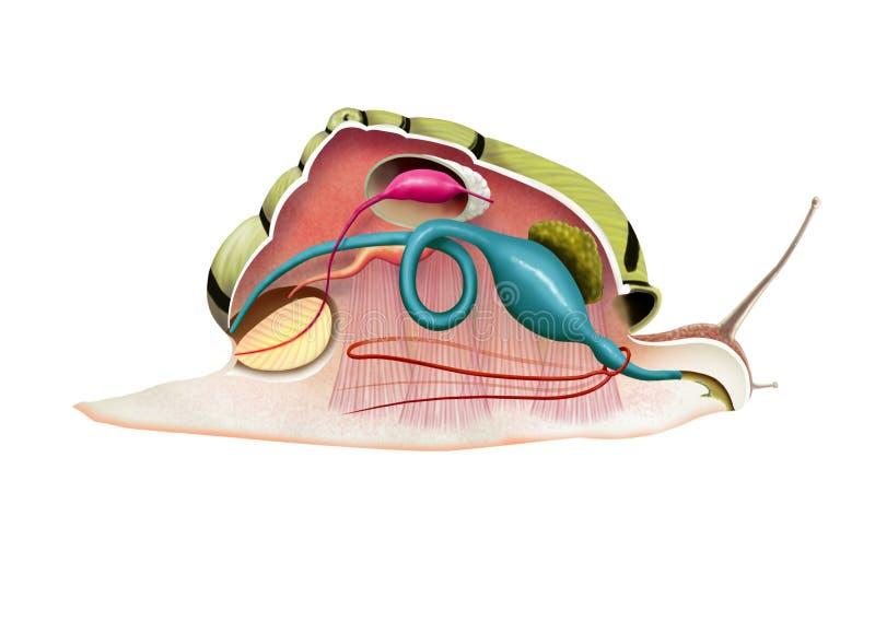 Anatomie d'escargot illustration de vecteur
