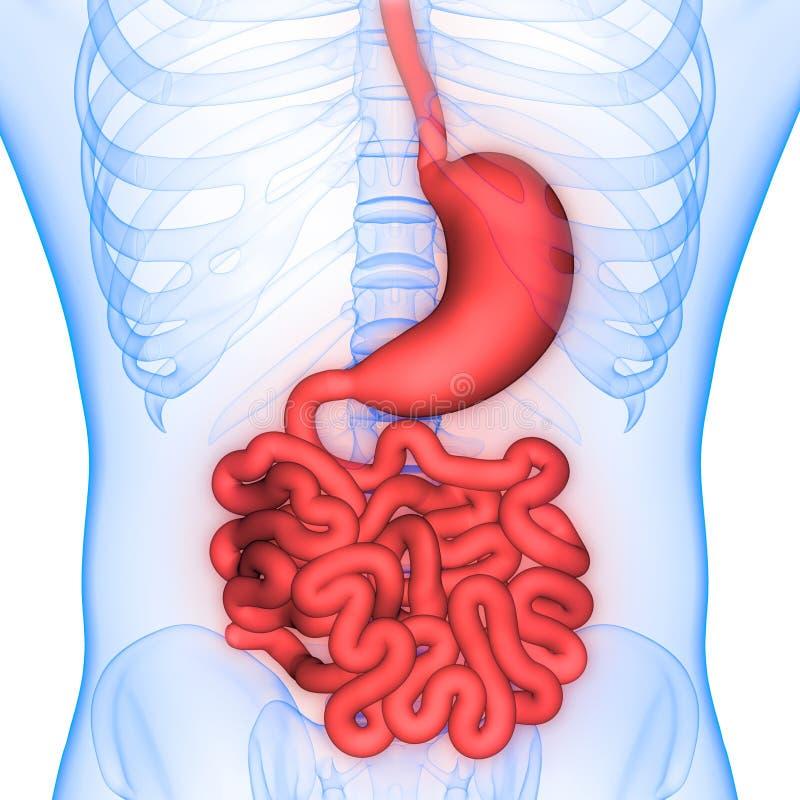 Anatomie d'estomac et d'intestin grêle d'appareil digestif d'organes de corps humain illustration stock