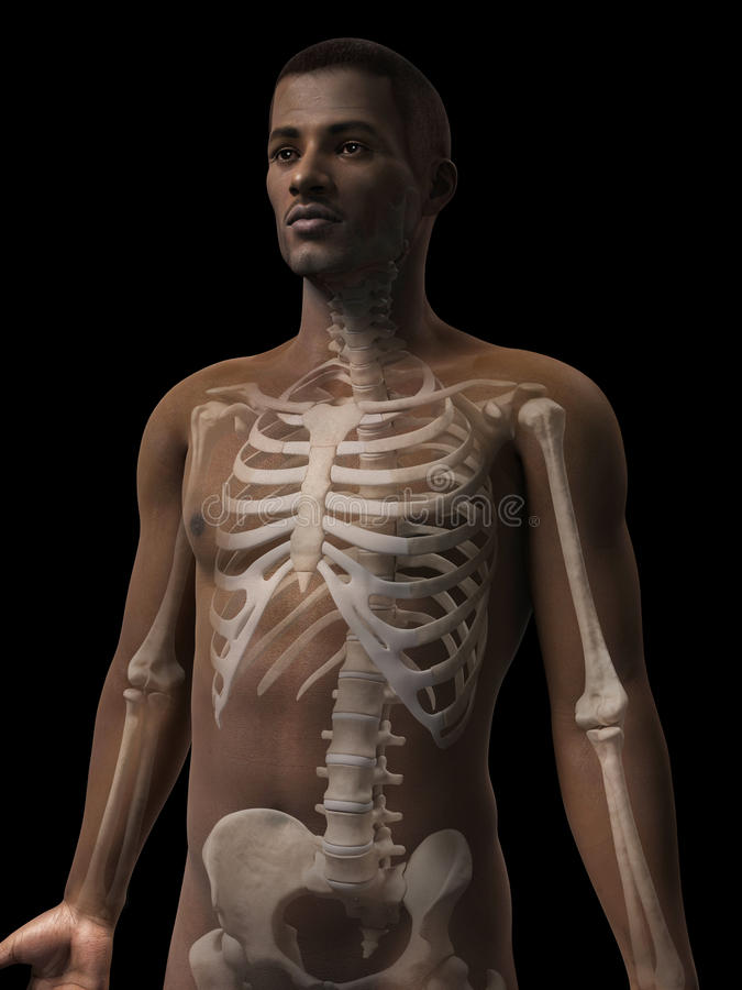 Anatomie d'homme - squelette illustration libre de droits