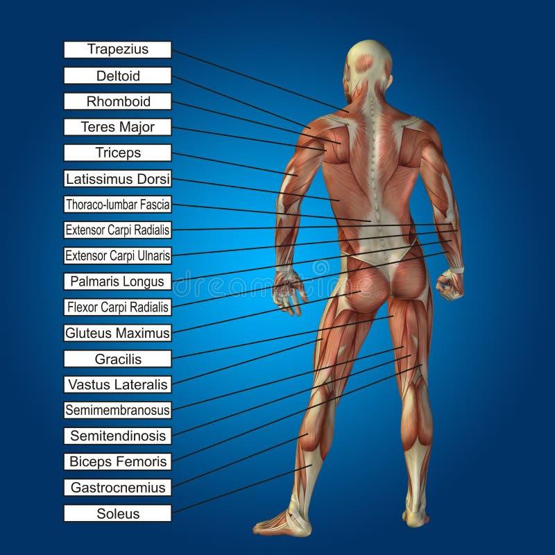 anatomie 3D masculine humaine avec les muscles et le texte illustration de vecteur