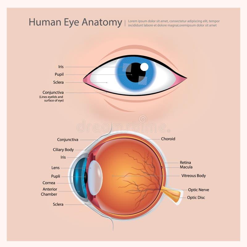 Anatomie d'oeil humain illustration de vecteur