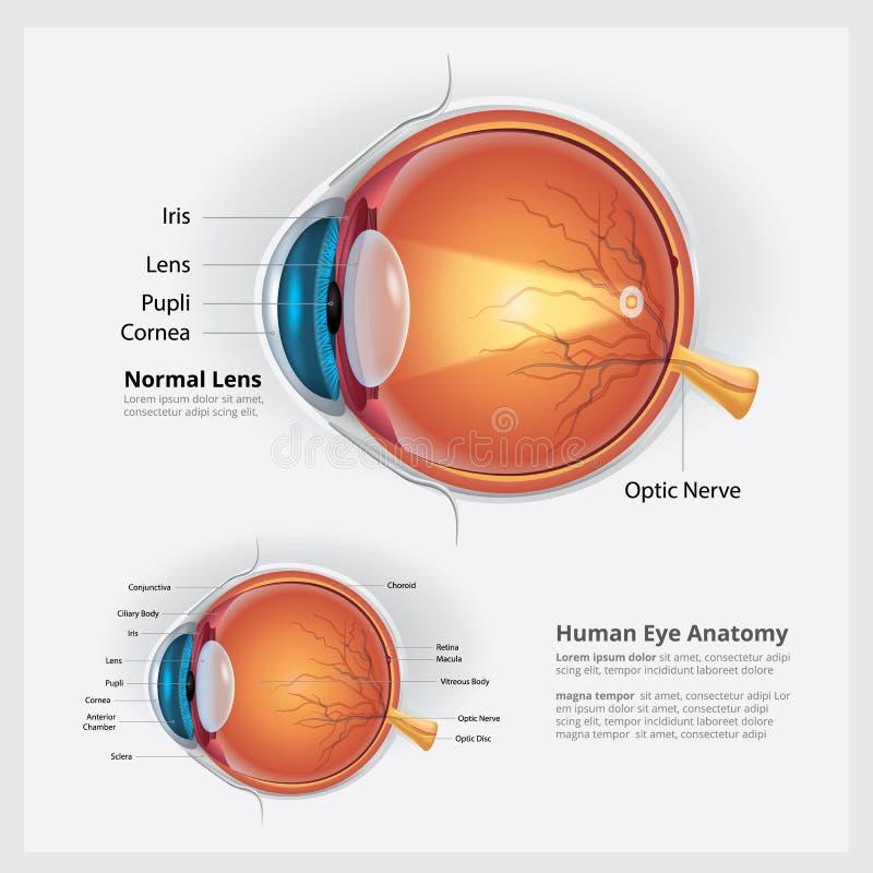 Anatomie d'oeil humain et lentille normale illustration stock