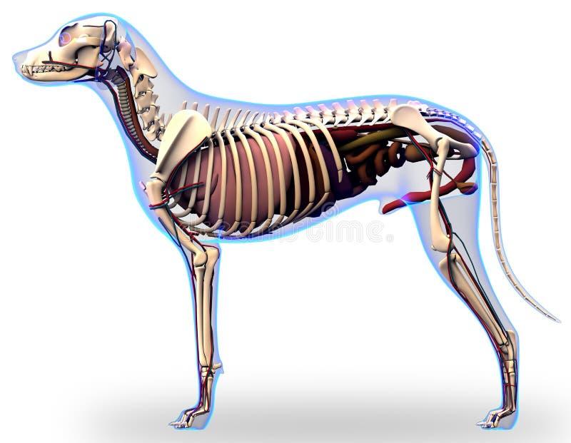 Anatomie d'organes internes de chien - anatomie d'un chien masculin Org interne illustration de vecteur
