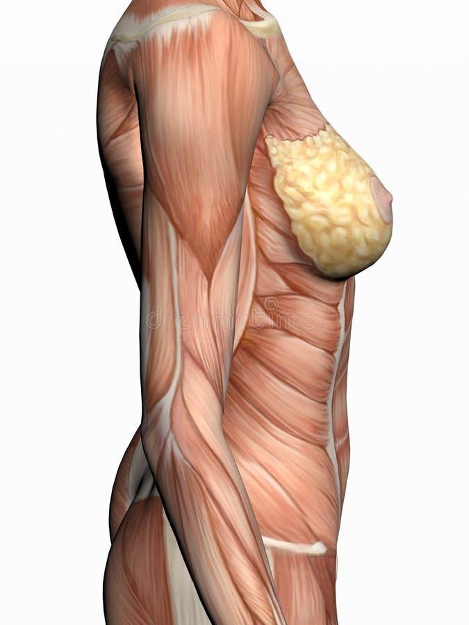 Anatomie d'une femme. illustration libre de droits