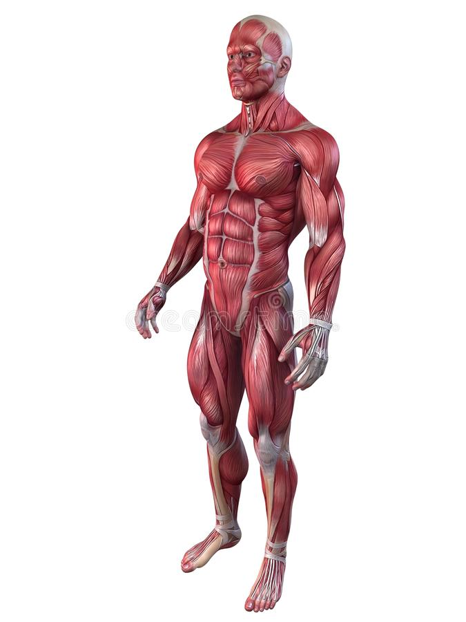 Anatomie de Bodybuilder illustration de vecteur