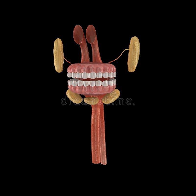 Anatomie de bouche illustration de vecteur