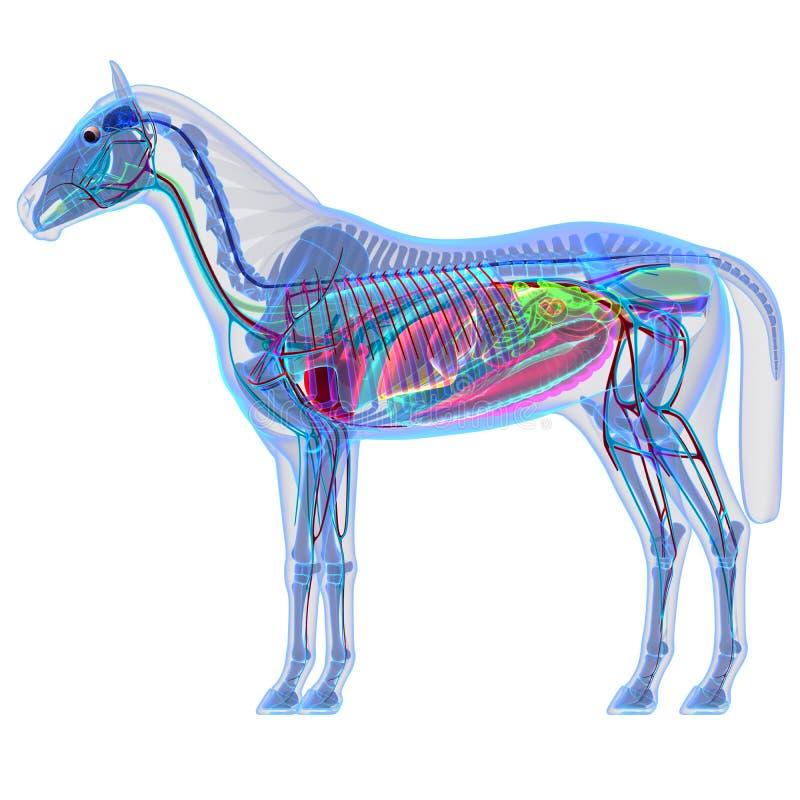 Anatomie de cheval - anatomie interne d'un cheval illustration de vecteur