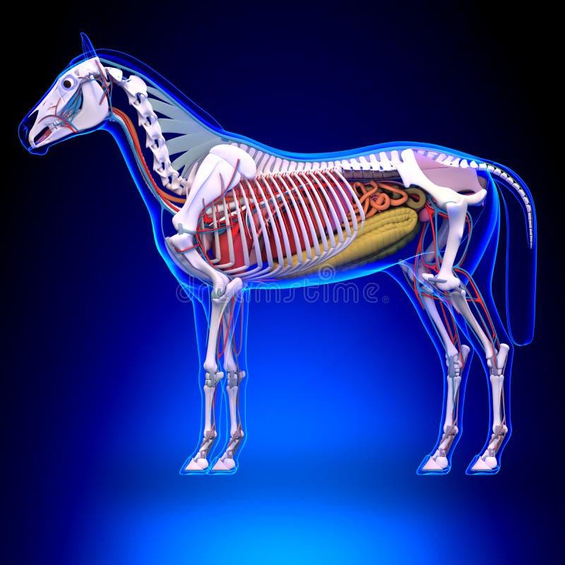 Anatomie de cheval - anatomie interne de cheval illustration stock