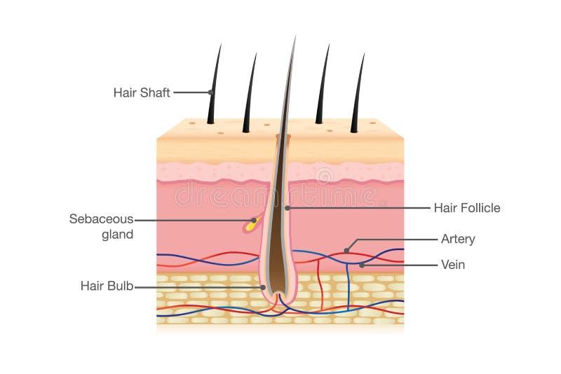 Anatomie de cheveux sur d'isolement illustration stock